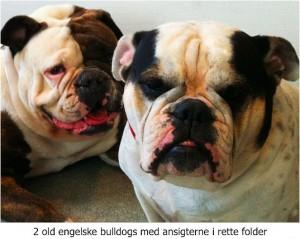 2_old_engelske_bulldogs