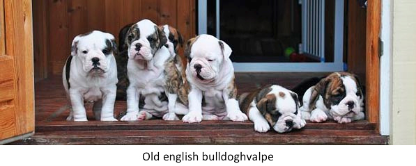 Old_english_bulldoghvalpe