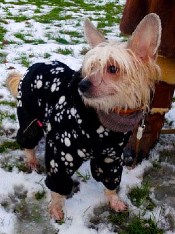 """Vintertid betydervåde poter! En trøje kan være nødvendigt for en """"kinesisk nøgenhund"""", det er mere vanskeligt at give vovsen sko på!"""