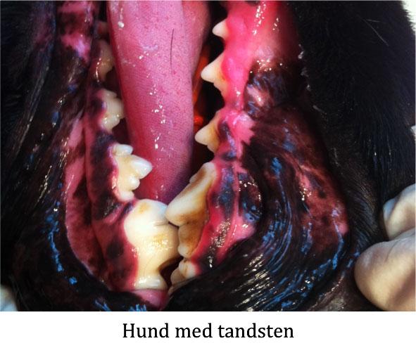 tandsten hund behandling