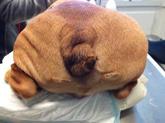 Hunden gøres klar til operation af halen.