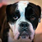 Hund_fyrvaerkeri_5