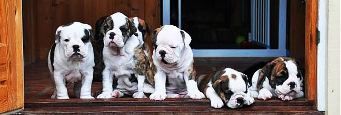 Bulldog / mops