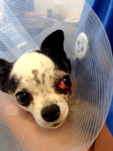 Remus 4 dage efter uheldet, øjet vurderes og det besluttes, at det skal fjernes.