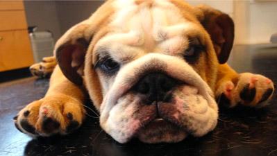 Engelsk bulldog med en hale, der generer